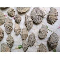 包真泥盆紀時期3億年貝化石多說無益,好東西自己會說話(zc22375403)_7788收藏__收藏熱線