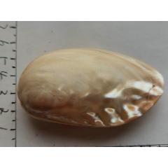 帶蛤蜊光的白色大貝殼一枚。(au25371835)_7788舊貨商城__七七八八商品交易平臺(7788.com)